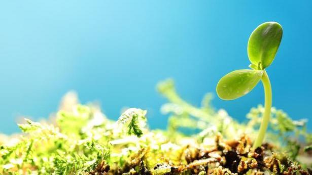 Ein dünner Grashalm, der unter den Brombeersträuchern wuchs